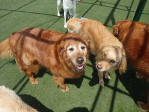 2-brown-dogs